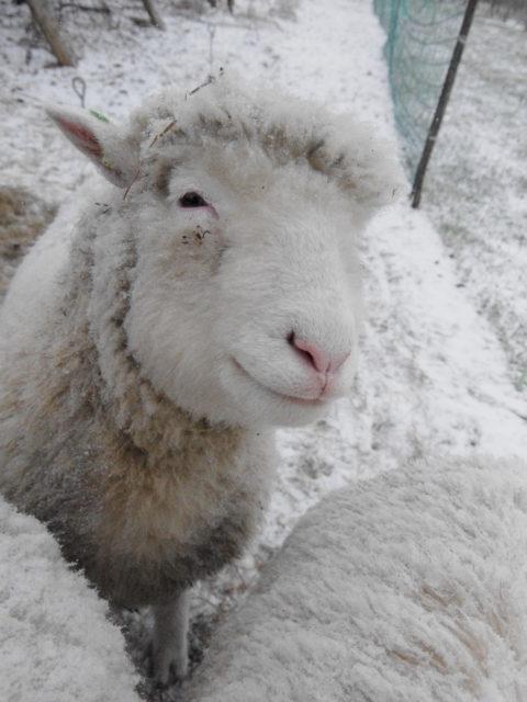 Poll Dorset in de sneeuw