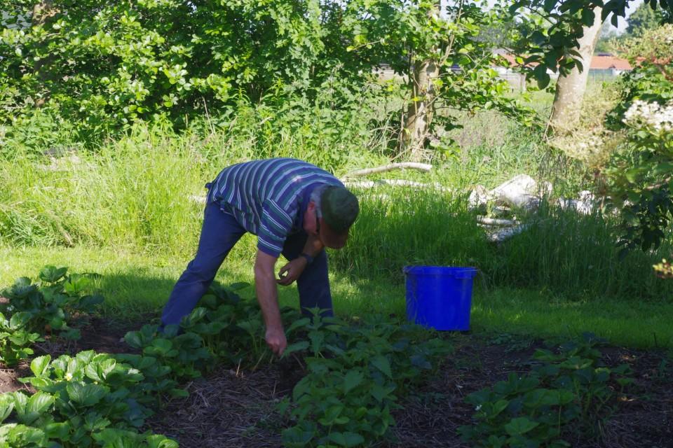 vrijwilliger in de tuin aan het onkruid wieden tussen de aardbeien vacatures Sprankenhof