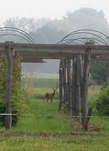 Ree in tuin biologische boerderij boshoeve Sprankenhof