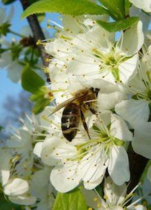 Een honingbij op perenbloesem in de tuin van Sprankenhof