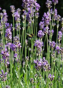 Bloeiende lavendel met hommeltje biologische kruiden tuin Sprankenhof Udenhout Tilburg