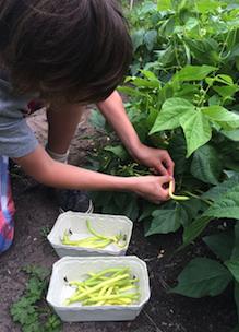 jongen is zelf biologische boontjes aan het plukken in biologische pluktuin boerderij boshoeve Sprankenhof