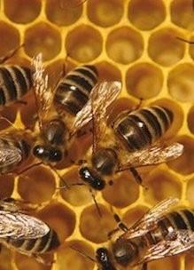 Honingbijen op bijenraat met honing in de tuin van Sprankenhof