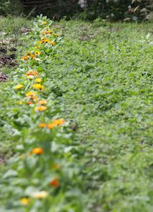 Biologische goudsbloemen in tuin boerderij boshoeve Sprankenhof