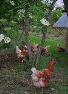 Biologische kippen lopen door de tuin van Sprankenhof
