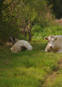 Koeien liggen lekker in de schaduw van een houtwal op Boshoeve Sprankenhof
