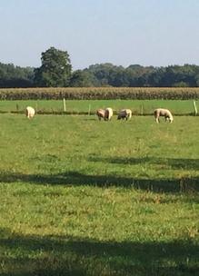 schapen in de weide van boshoeve Sprankenhof